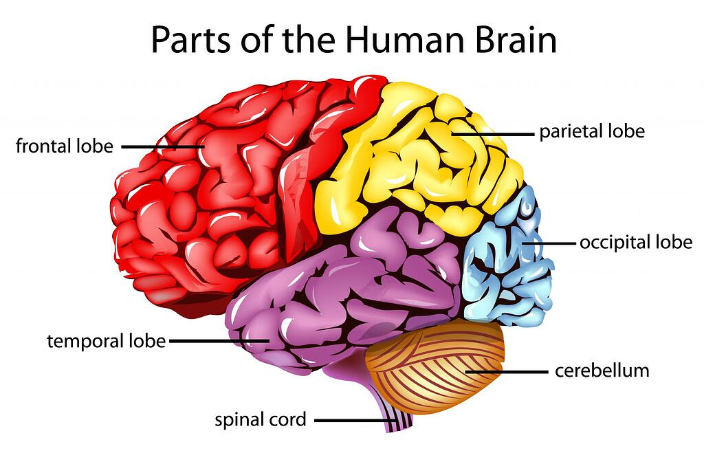 frontal lobe prefrontal cortex exercises